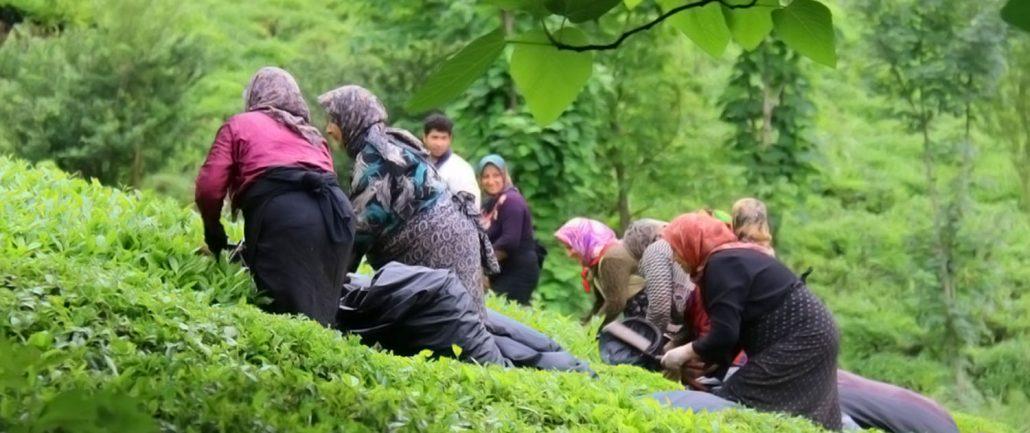 برداشت چای از مزارع شمال ایران